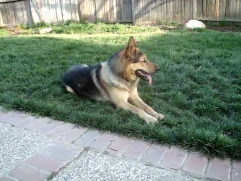 Bay my German Shepherd Wolf Hybrid - YouTube
