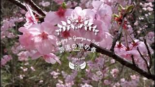 四万十源流の里の桜 Shimanto Genryu no Sato: cherry blossom