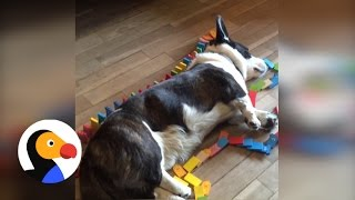 Corgi Plays Dominoes In Laziest Way Possible | The Dodo