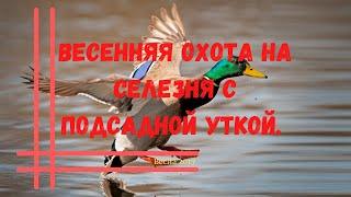 Весенняя охота на селезня с подсадной уткой. Весна 2016.
