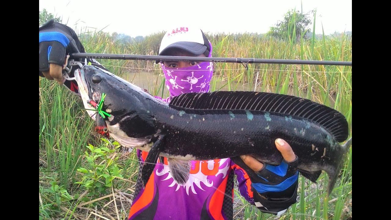 ตกปลาชะโด ทริปเล็กๆหลายรสชาติ Giant snakehed fishing