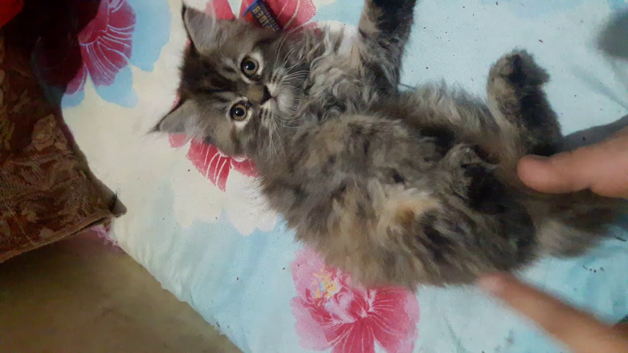 Persian cats || Persian kittens || for Sale in Mumbai || heavy fur quality