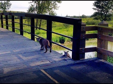 An Encounter With A Bobcat Family In Fish Creek Park, Calgary, Alberta, Canada