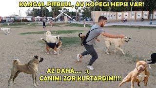Korsan Amstaff ve Setter İle Sokak Köpeklerin Arasına Girdik Canımı Zor Kurtardım!!
