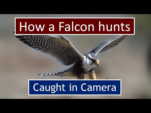 Power Of Shaheen Falcon