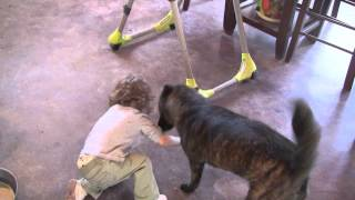 This is a clip of Kumi, a female Kai Ken (甲斐犬), playing with our...