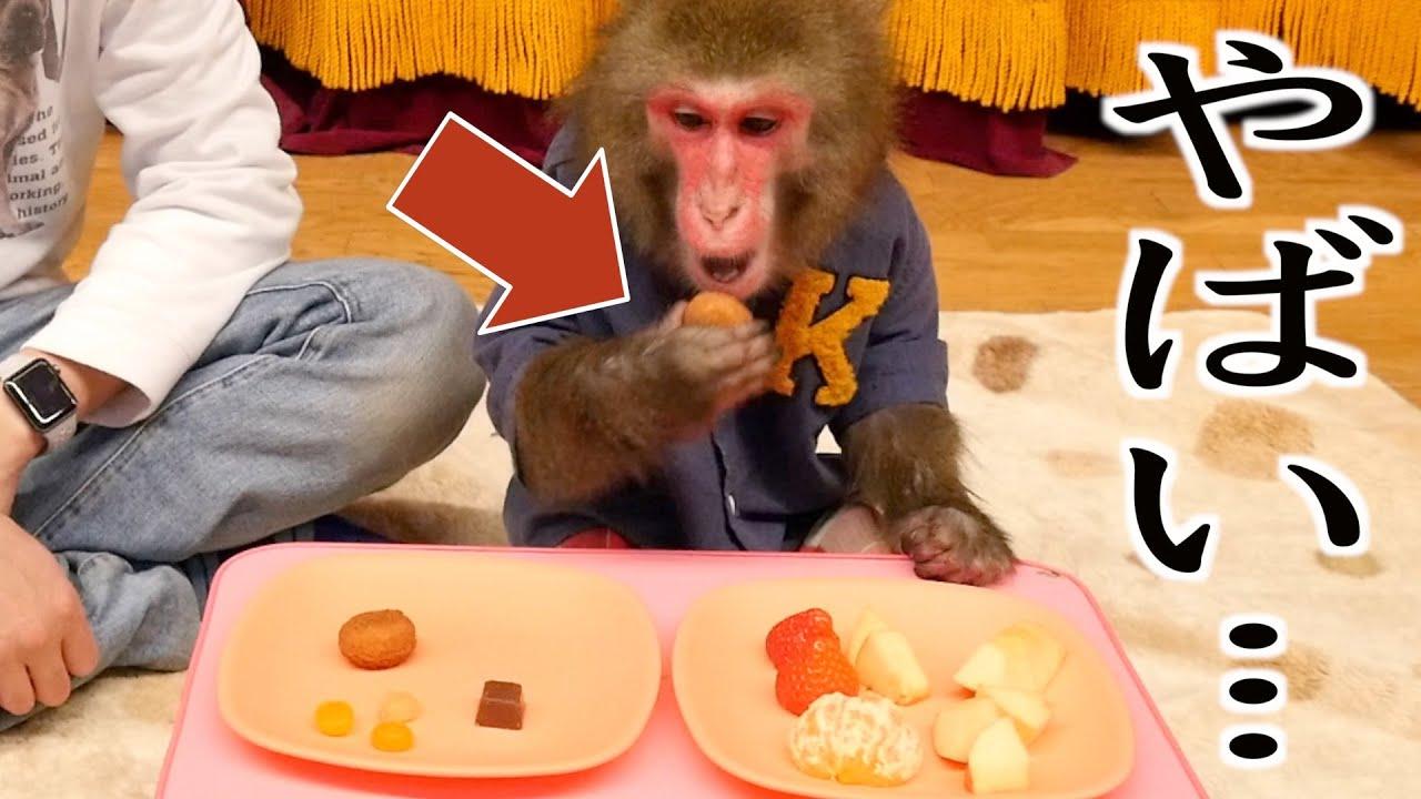 フルーツより人間のお菓子が好きになってしまったお猿さんがやばい…。