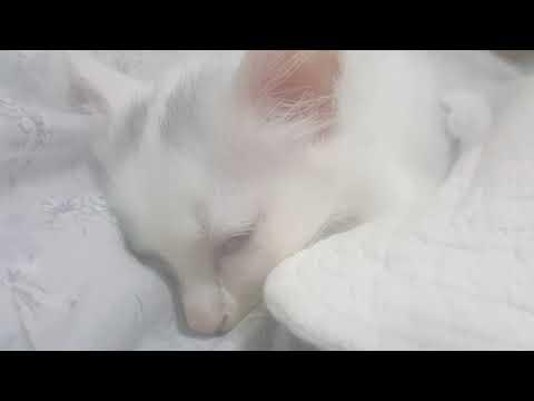Turkish Angora Cat Breed Funny Video Funnycat Tv