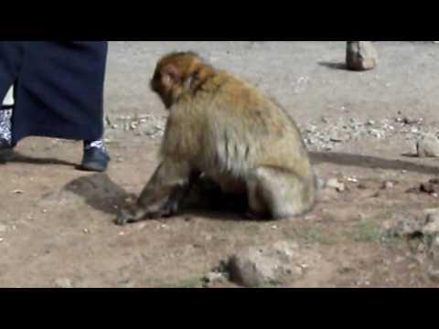 Monkey of the Atlas  Morocco