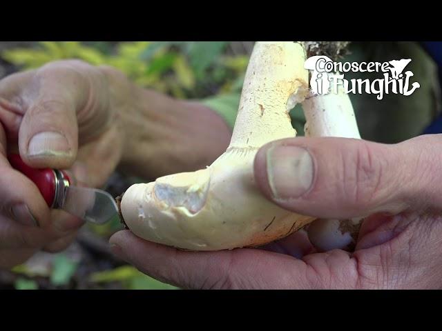 Conoscere i Funghi: Hygrophorus Poetarum [ COMMESTIBILE ]