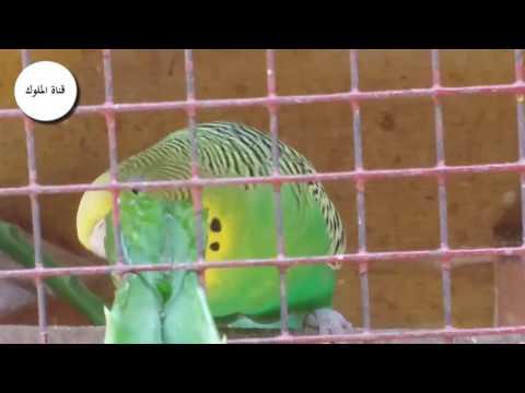 تعرف علي افضل طعام لطيور الحب البادجي Youtube