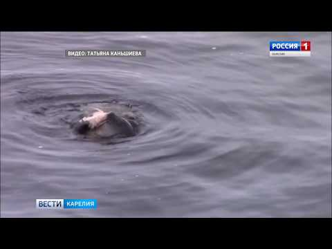 Тюлень поймал рыбу в центре Беломорска