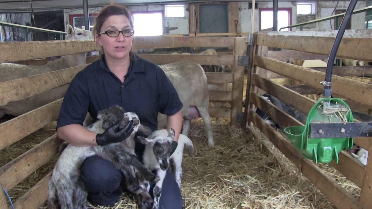 Choix des agneaux à placer à l'allaitement artificiel