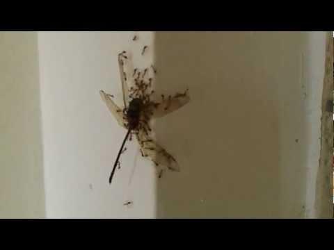 Ants of Sarawak, Brunei