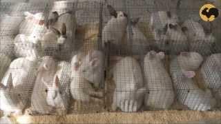 Живой дом. Породы кроликов: новозеландский, калифорнийский, бельгийский.(В настоящее время в мире насчитывается около 200 пород кроликов, из которых в нашей стране разводят 20 пород..., 2013-07-11T11:03:50.000Z)