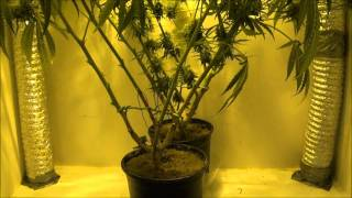 How I Grow Weed - Nutrients - PH - Rockwool - Growing Marijuana Indoors