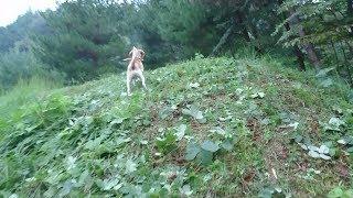 ビーグル #うぃるさん #Beagle 数週間前にじいちゃんのアスパラ農園へ...