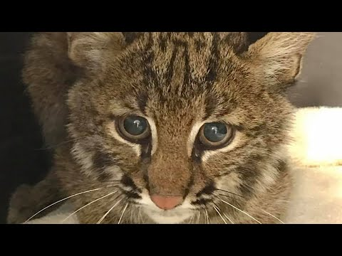 Bobcat Kitten Goes Outside And Hunts