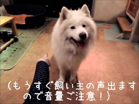 サモエド クローカ 「2012クロ毛のなにか抽選会」 (samoyed kloka)