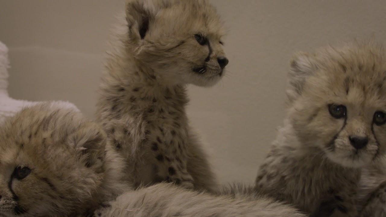 cheetah cubs at san diego zoo safari park youtube