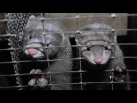Ontario Fur Farm Industry Infiltrated by Animal Rights Activist