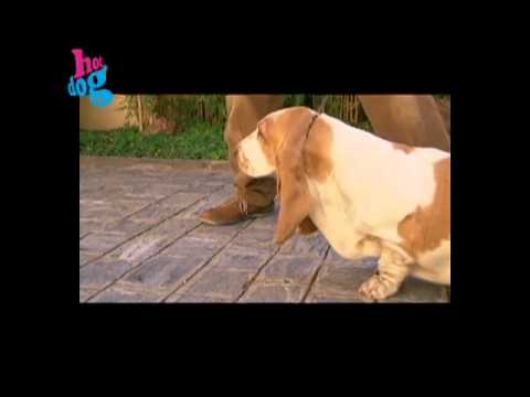 Basset Hound - Programa Hot Dog thumbnail