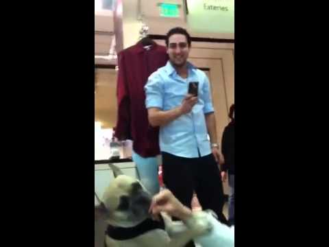 "BEST Talking Dog – Pug says ""I love you"" – Clearest voice on the internet!  Really smart dog talks!"