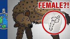 Why Do Female Hyenas Have Pseudo-Penises?!