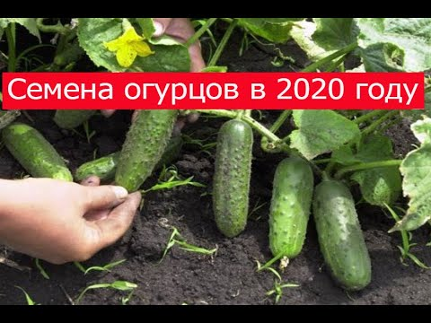 Семена огурцов 2020 Что я буду сеять в этом году