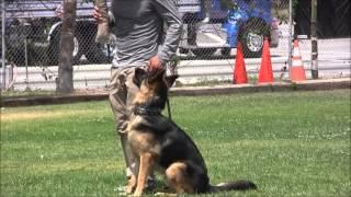 Wolfgang  The Expert Dog Training Rex Von Der K9 Arena