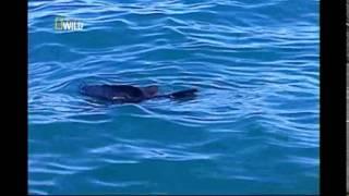 Repeat youtube video O Tubarão Branco e Crocodilo - Documetario Ataque Animal