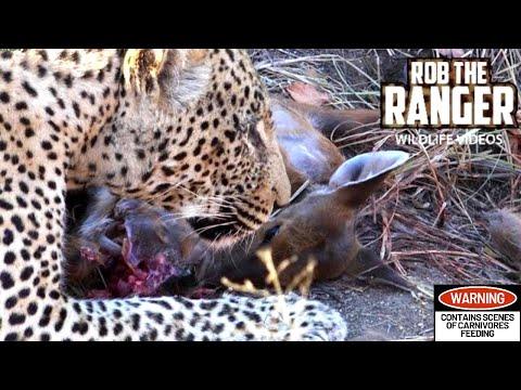 Big Male Leopard Eats Entire Newborn Nyala