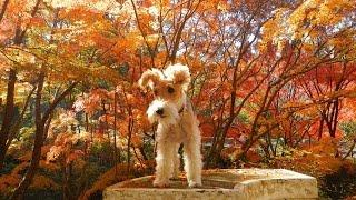 """Wire fox terrier """"nana"""" enjoyed autumn mountain."""