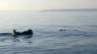 Красивая собака лайка смешно купается, красивое HD видео!