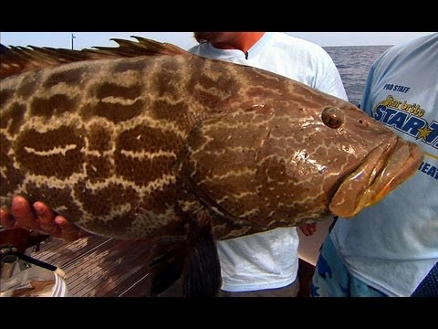 MONSTER GROUPER fishing in the Dry Tortugas National Park
