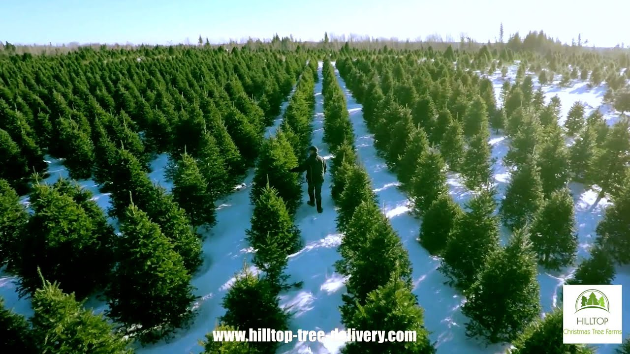 christmas tree delivery from hilltop christmas tree farms - Hilltop Christmas