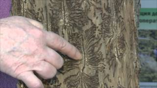 Короед-типограф в лесах Подмосковья(, 2012-03-02T16:05:01.000Z)