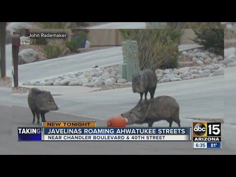 Neighbors report javelinas roaming Ahwatukee streets