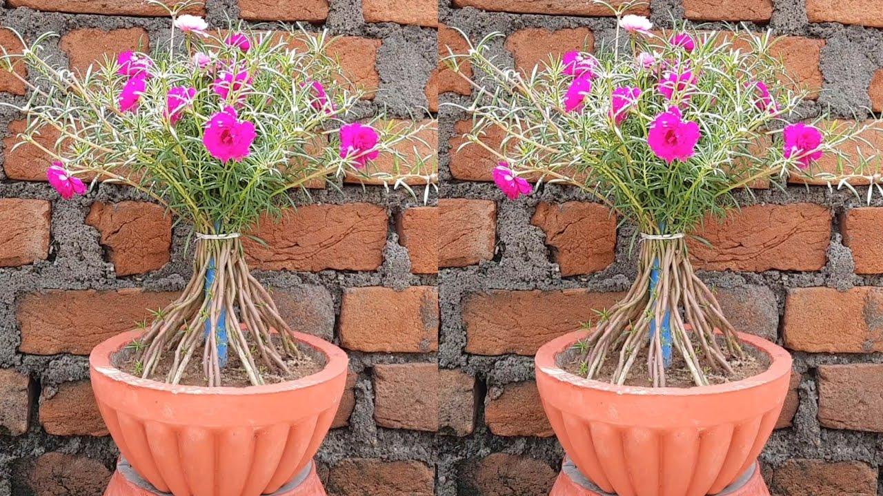 पोर्टुलाका लगाएं नये तरीके से और दें नया लुक | grow portulaca in small bonsai pot/Agro field