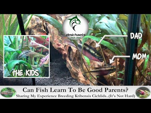 Can Fish Learn To Be Good Parents? Sharing My Kribensis Cichlid Breeding Experience...