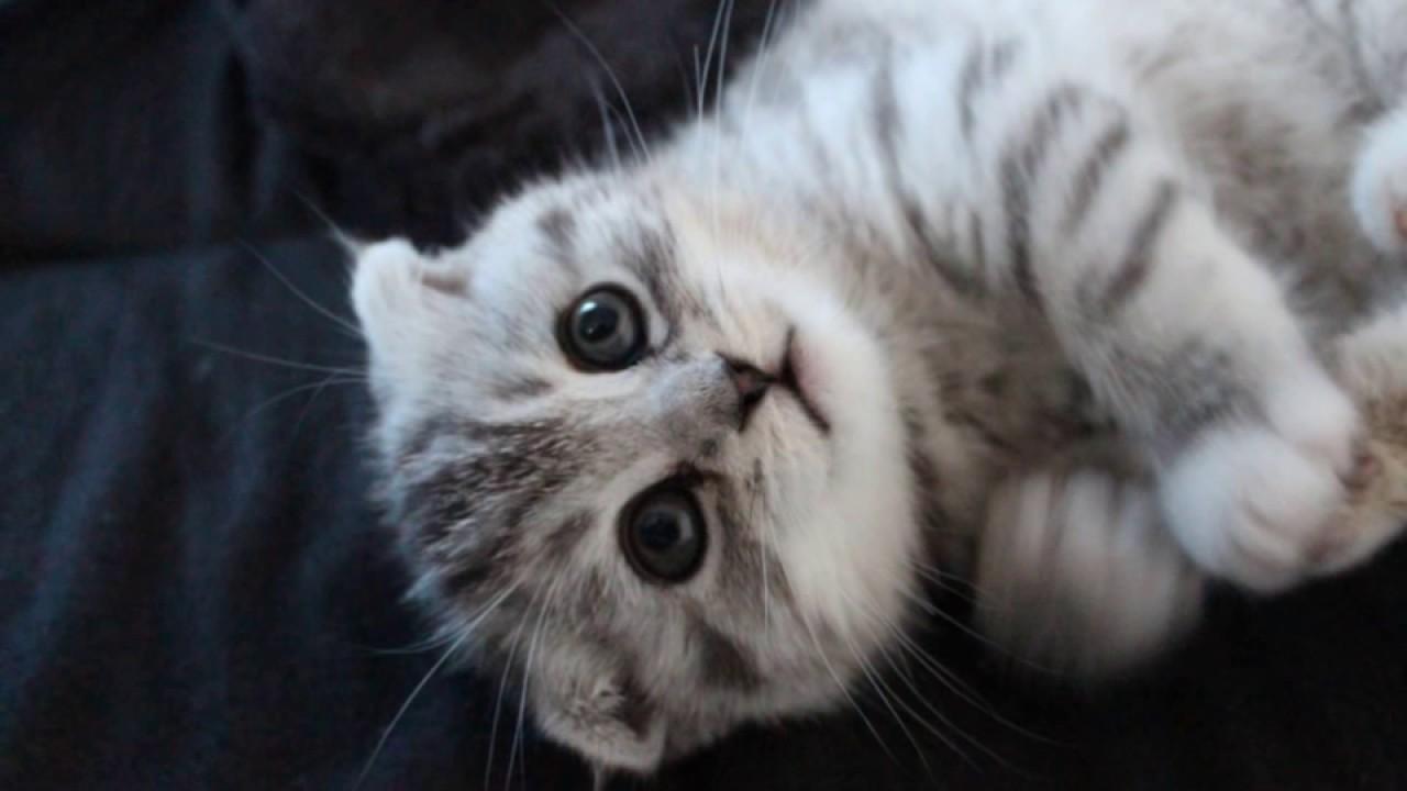【幸せ子猫】01 スコティッシュフォールド
