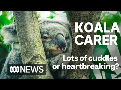 A Day In The Life Of A Koala Carer | ABC News