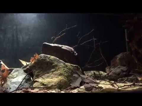 New Setup:  Amatitlania nigrofasciata Biotope Aquarium ( Central America )