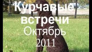 курчавошерстный ретривер  Октябрь 2011