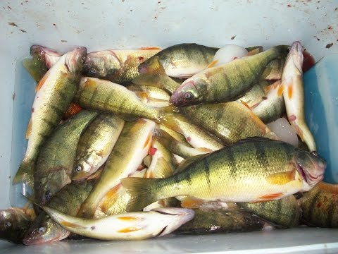 Lake Erie Yellow Perch Fishing 2015