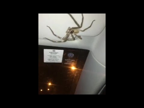 Giant Hairy Spider Clings to Woman's Car Visor as She Drives