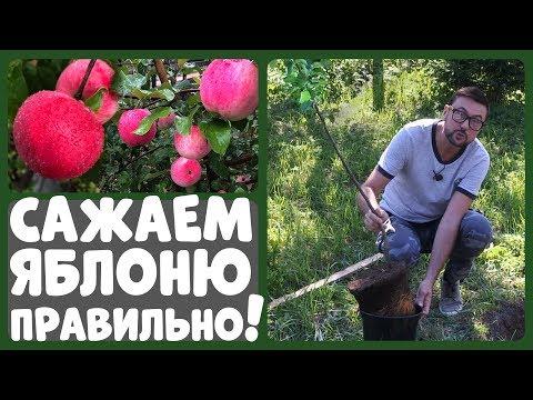 САЖАЙТЕ ЯБЛОНЮ ТОЛЬКО ТАК! Как правильно посадить яблоню?