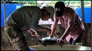 One of World's Rarest Turtles Heading Back to the Wild | WCS