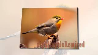 Nightingale Remixed by Airtone with Nature Sound Colorful Birdsong