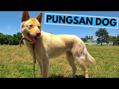 Pungsan Dog Breed - Facts and Information